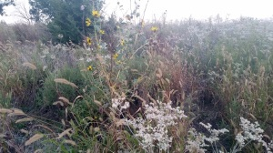 switchgrass2