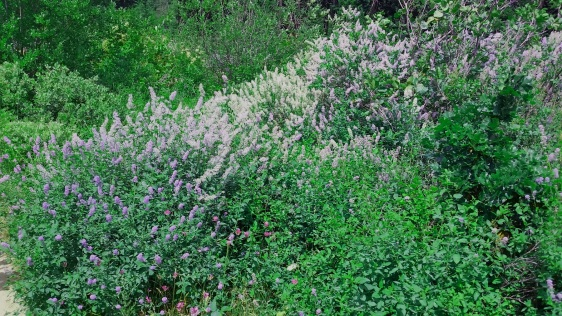 Whoopdee Trail lilacs