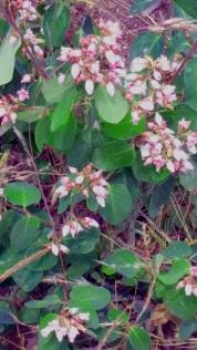 Huckleberries in bloom